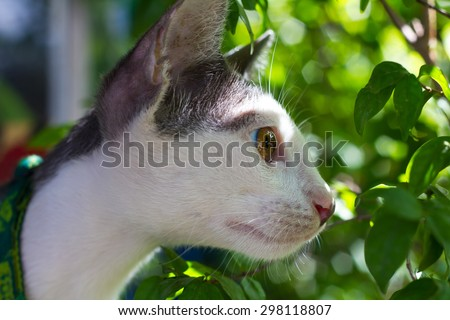 Close up of gray and white cat staring at something in the bushes, through a curious light. - stock photo
