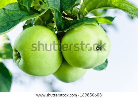 Close-up of green apples on a tree - stock photo