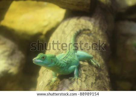 Close up of Green Basilisk Lizard (Basiliscus plumifrons) on the log. - stock photo