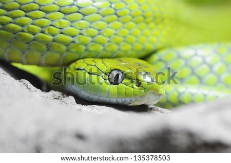 Close up of Green Cat-eye snake, Thailand - stock photo