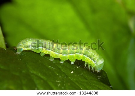 Close up of green caterpillar on green leaf - stock photo