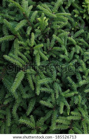 close-up of green fir branches, full frame - stock photo