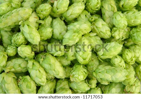 close-up of green hops  useful for background - stock photo