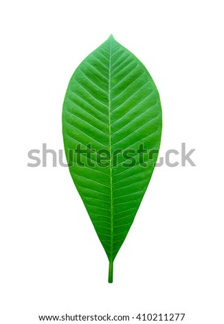 Close up of green leaf isolated on white background, Clipping path included. - stock photo