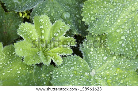 Close up of Green Leaves of lady's mantle covered in water drops with shallow depth of field. - stock photo