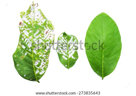 close-up of 3  green leaves with holes isolated on white background - stock photo