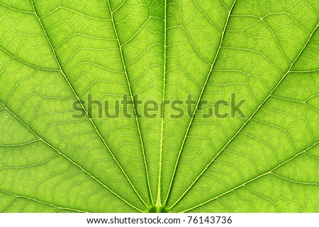 Close up of green neem leaves-Azadirachta indica - stock photo
