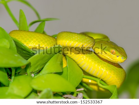Close up of Green pit viper (Poisonous Green Snake) - stock photo