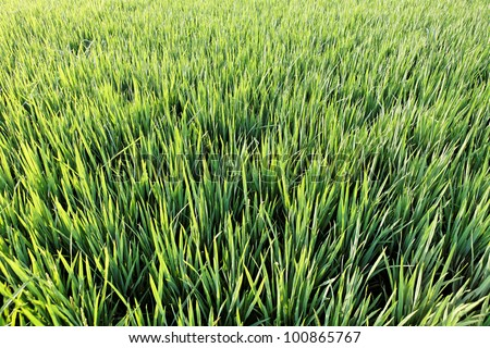 Close up of green rice field - stock photo