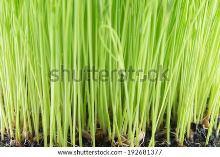Close-up of green rice seedling growing out of soil - stock photo