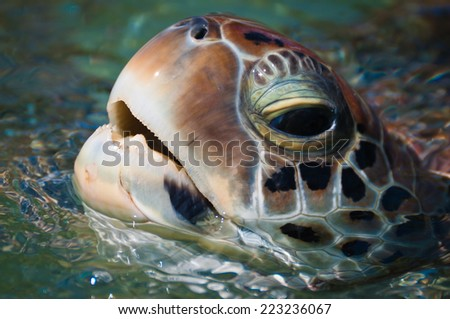 Close-up of green sea turtle's head above the water - stock photo