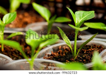 Close-up of green seedling of tomatoes growing out of soil - stock photo