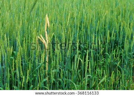 Close-up of green wheat field. Green ears of grain cereals. - stock photo