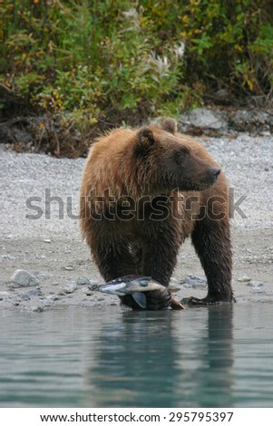 close up of grizzly bear holding salmon - stock photo