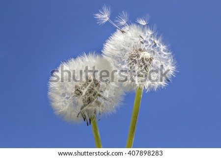 Close up of grown dandelions and dandelion seeds in the sunlight, in the wind across a clear blue sky - stock photo