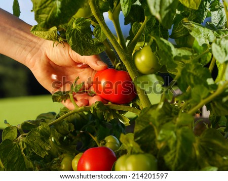 close up of hand picking a tomato from the garden - stock photo