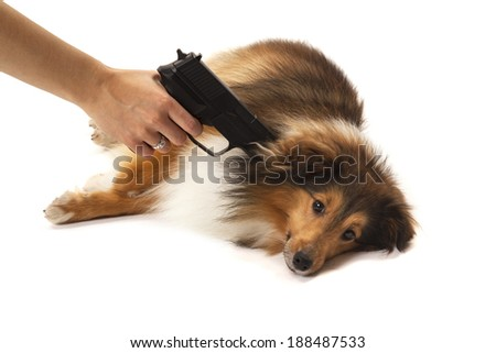 Close-up of hand pointing gun on shetland sheepdog over white background - stock photo