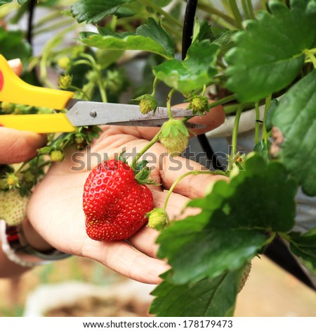 Close-up of hands cutting strawberries. - stock photo