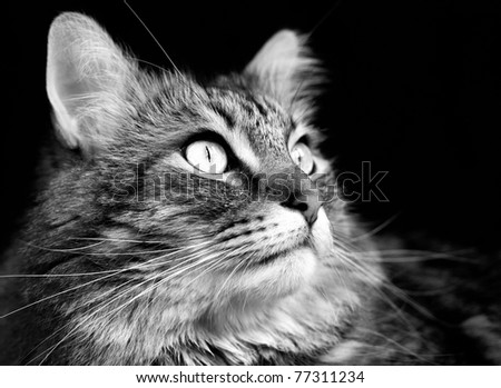 Close up of handsome adult maine coon cat's face on black background. - stock photo