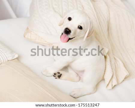 Close up of happy puppy of labrador sitting on the white leather sofa - stock photo
