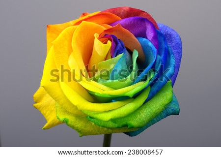 Close up of happy rose : rainbow flower with colored petals - stock photo