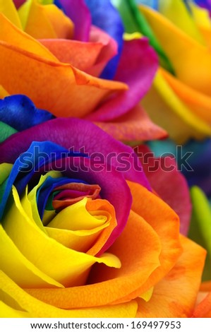 Close up of happy rose : rainbow flower with colorful petals - stock photo