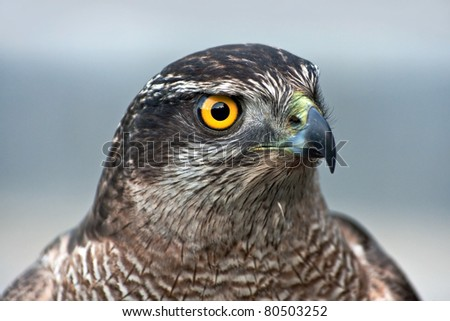 Close-up of hawk - stock photo