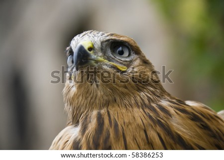 close up of hawk with blurred background - stock photo