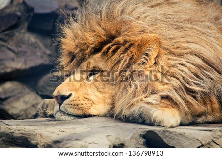 Close up of head of a Male Lion resting - stock photo