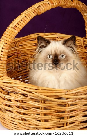 close up of himalayan persian kitten in cane wicker basket - stock photo