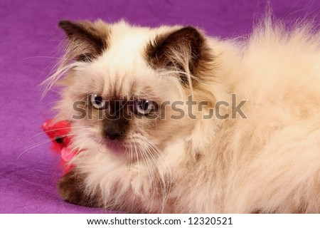 close up of himalyan persion kitten against purple background - stock photo