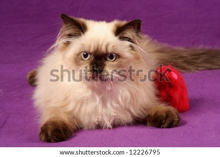 close up of himalyan persion kitten against purple background with red toy mouse - stock photo