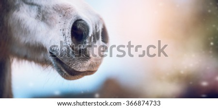 Close up of horse nose on blurred nature background, banner. Side view - stock photo