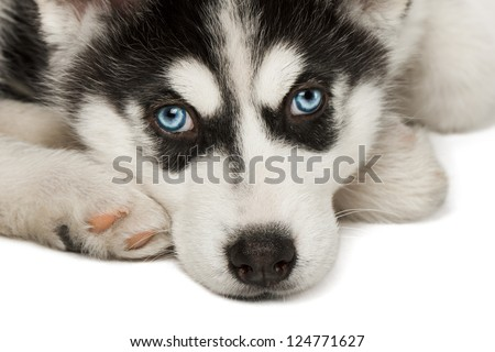 Close-up of husky puppy muzzle or face. - stock photo
