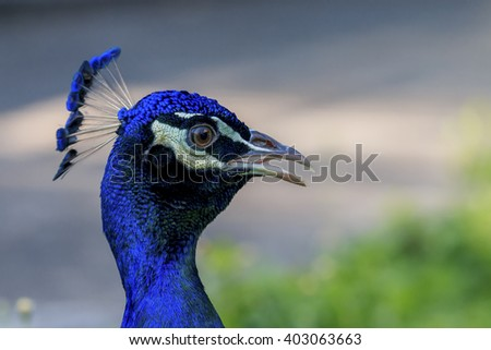 Close up of Indian Peacock head - stock photo