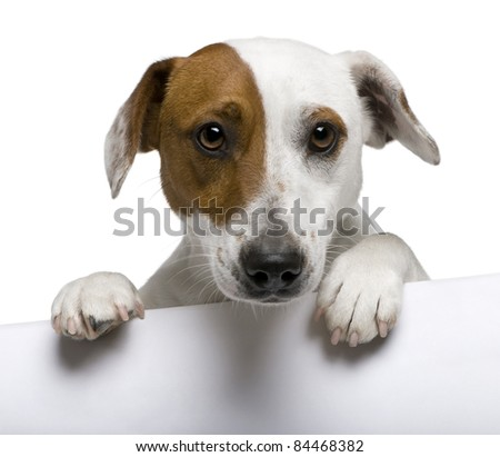 Close-up of Jack Russell Terrier, 1 year old, in front of white background - stock photo