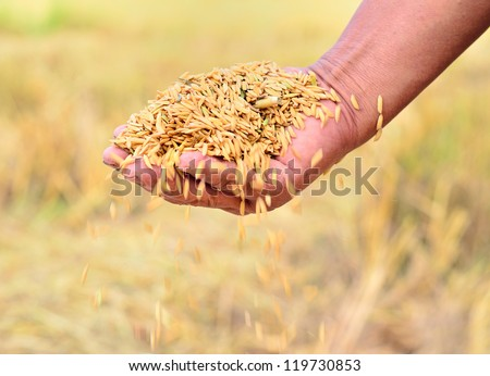 Close up of jasmine rice seed in farmer hand - stock photo