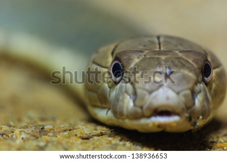 close up of king cobra - stock photo