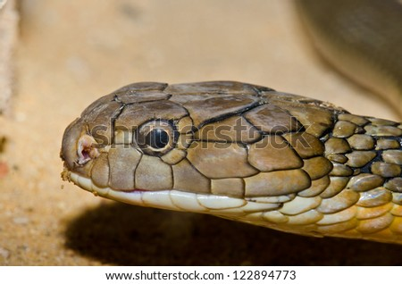 Close up of King Cobra snake, Thailand. - stock photo