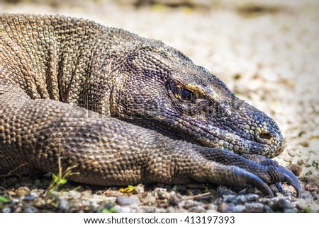 Close up of Komodo dragon resting in its natural habitat of Komodo Island, Flores, Indonesia. - stock photo