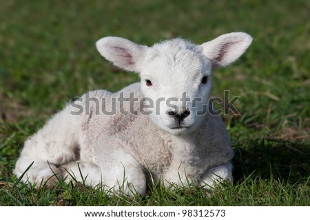 Close-up of lamb lying in field - stock photo