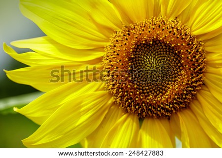Close Up of large Sunflower Blossom in Summer - stock photo