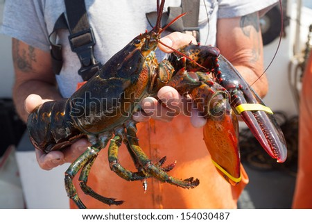 close up of large yellow banded lobster being held by caucasian male in orange overalls, Maine, USA - stock photo
