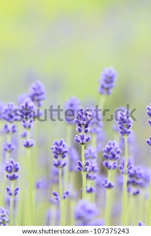 Close up of lavender flowers in summer - stock photo