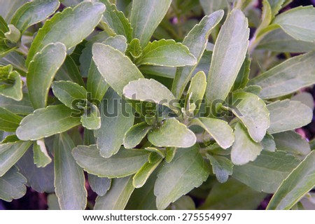 Close up of leaves of stevia plant also known as Sweet Leaf, an alternative sweetener to sugar, looking down the plant fills the frame. - stock photo