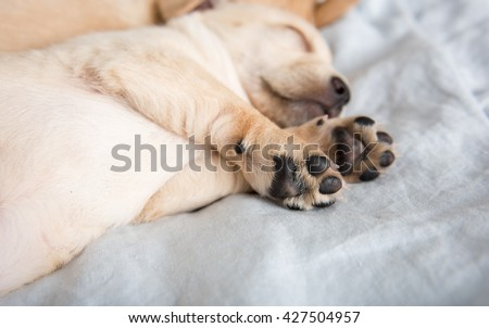 Close Up of Light Colored Puppy Paws - stock photo