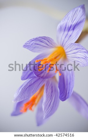 Close-up of lilac crocus flowers - stock photo