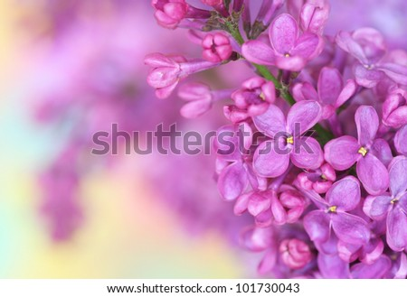 Close-up of lilac on pastel background - stock photo
