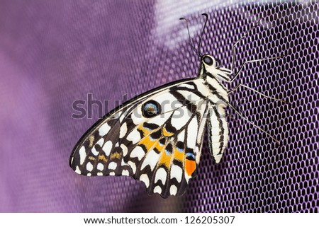Close up of lime butterfly clinging on purple net - stock photo
