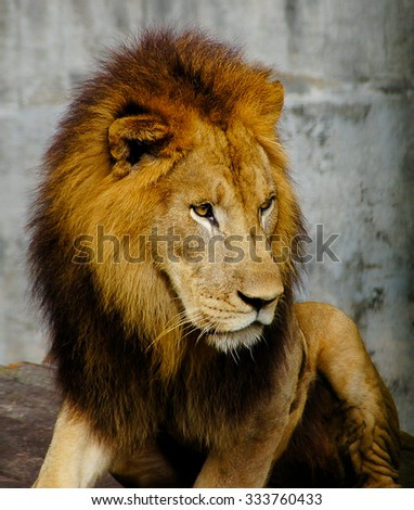 Close up of lion at its daily activity daily - stock photo